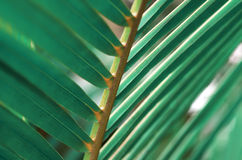 Palm leaf macro. Tropical palm leaf green macro photo background Stock Images