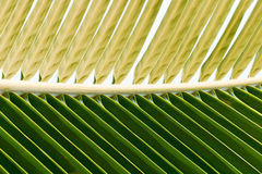 Palm leaf macro. Two colors palm leaf macro Royalty Free Stock Images