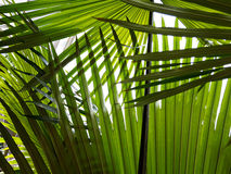 Palm leaf. Many palm leaves in the shadow Stock Images