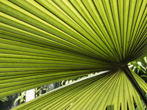 Palm leaf. Many shades of green under the palm leaf Stock Images