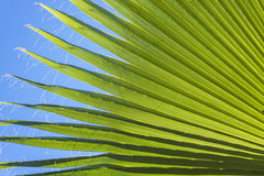 Palm Leaf Nature Background Stock Images
