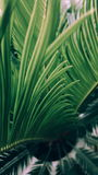 Palm leaf. Nature detail of a green palm tree leaf royalty free stock photos