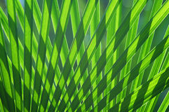 Palm Leaf Pattern. Pattern of palm leaves with morning light stock photography