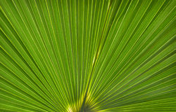 Palm Leaf Pattern (Licuala elegans) Royalty Free Stock Photography