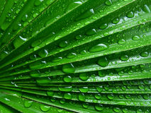 Palm leaf with rain drops. In detail isolated Royalty Free Stock Photo