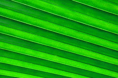 Palm leaf texture Stock Photography