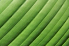Palm leaf texture. Close up of palm leaf striped texture Stock Photography