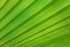 Palm leaf texture Stock Photo