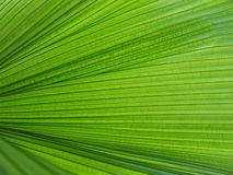 Palm leaf texture Stock Image