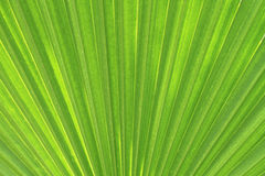Palm leaf texture Stock Photo