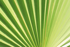 Palm leaf texture. As natural background Stock Image