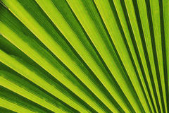 Palm leaf texture. As natural background Royalty Free Stock Images