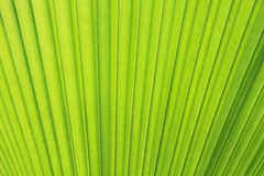 Palm leaf texture. Or background Stock Images