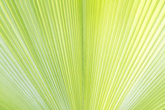 Palm leaf texture. Or background Royalty Free Stock Photos