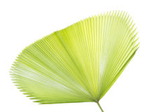 Palm leaf texture. Or background Stock Photo