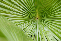 Palm leaf texture background with copy space.  Stock Images