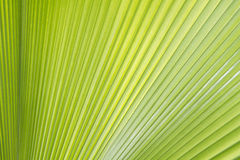 Palm leaf texture or background. Green palm leaf texture or background Royalty Free Stock Images