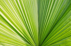 Palm leaf. The Texture background of green plam leaf Stock Photos