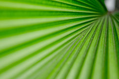 Palm leaf. The Texture background of green plam leaf Royalty Free Stock Photography