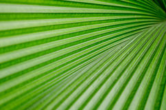 Palm leaf. The Texture background of green plam leaf Royalty Free Stock Photos