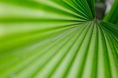 Palm leaf. The Texture background of green plam leaf Stock Image