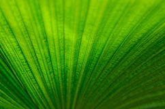 Palm leaf. The Texture background of green plam leaf Stock Photo