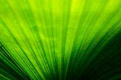Palm leaf. The Texture background of green plam leaf Stock Photography