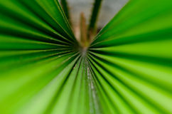 Palm leaf. The Texture background of green plam leaf Royalty Free Stock Images