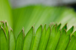 Palm leaf. The Texture background of green plam leaf Stock Images