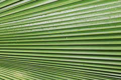 Palm leaf  texture background with rain drop. Palm leaf texture background with rain drop Royalty Free Stock Photo