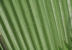 Palm leaf  texture background with rain drop. Palm leaf texture background with rain drop Royalty Free Stock Images