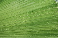 Palm leaf  texture background with rain drop.  Stock Photo