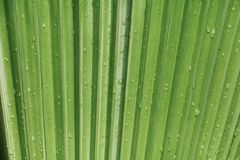 Palm leaf  texture background with rain drop.  Stock Images