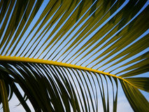 Palm leaf texture with blue sky. Background Royalty Free Stock Image