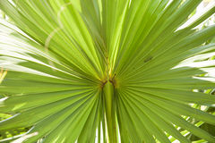 Palm leaf texture. Can be use as texture or background Royalty Free Stock Photography
