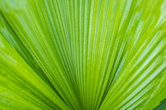 Palm leaf and texture. Closed-up Stock Photo