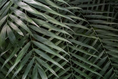 Palm leaf texture Royalty Free Stock Photos