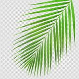 Palm leaf texture di cut.clipping path Royalty Free Stock Photo