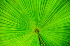 Palm leaf texture. Green palm leaf texture background Stock Images