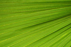Palm leaf texture Royalty Free Stock Images