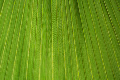 Palm leaf texture. A green natural background Stock Photo