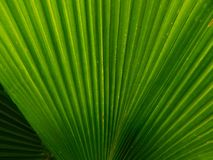 Palm leaf texture. Image of one palm leaf Royalty Free Stock Photo
