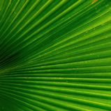 Palm leaf texture. Image of one palm leaf Stock Photography
