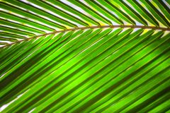 Palm leaf texture, plant over nature background Royalty Free Stock Photography