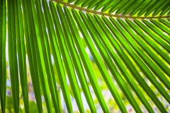 Palm leaf texture, plant over nature background Stock Images