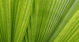 Palm leaf texture. Palm leaf tropical plant, abstract green nature pattern texture background stock video