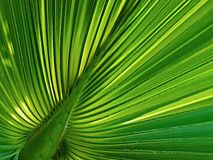 Palm leaf. Palm tree (Arecaceae) is a family of monocot plants, often known as palm trees. Order (Arecales) contains only the family Arecaceae Stock Photography