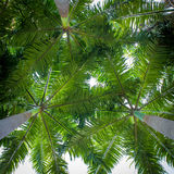 Palm leaf on tree for background Royalty Free Stock Photography