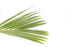 Palm leaf. Leaf of a Palm Tree Isolated on White Royalty Free Stock Images