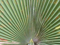 Palm leaf. Palm tree leaf texture background Royalty Free Stock Photography